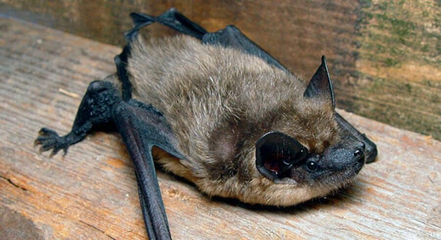Bats Can Crawl In Small Areas
