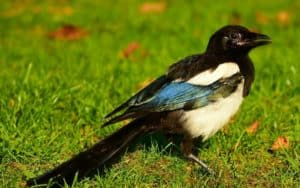 whenwill magpies stop coming in my garden