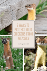 how to protect your chickens from weasels (1)