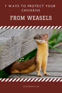protect chickens from weasels (1)