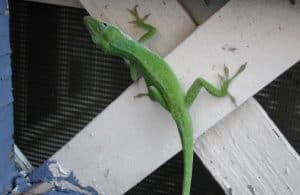 Many people hate indoor lizards