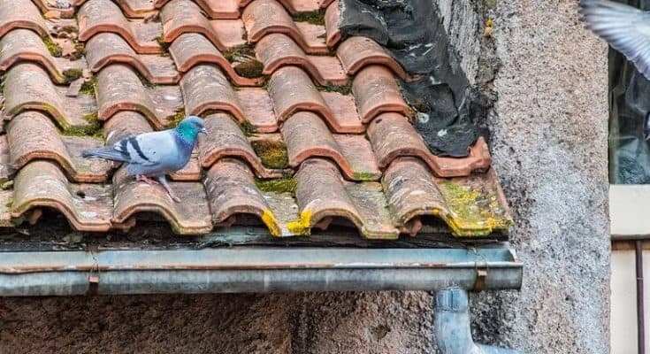 How To Get Rid Of Pigeons And Keep Them Off Roofs Barns