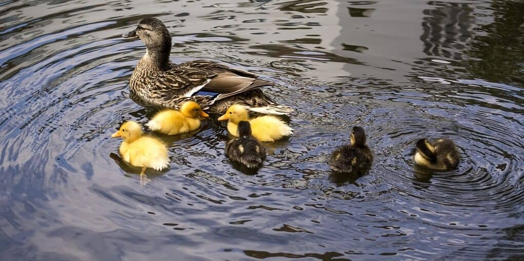 Best way to keep ducks off pond and water clear