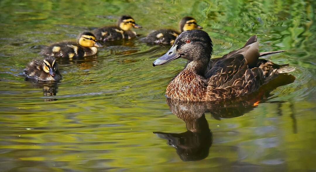 Keep ducks off your pond